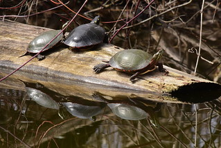 Painted Turtles, Chrysemys picta (5) | by Herman Giethoorn
