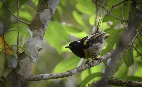Stitchbird - hihi