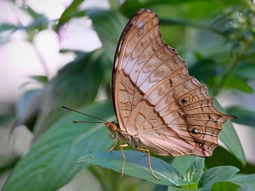Butterfly - Schmetterling | by Enzio H.