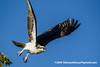 Osprey (Pandion haliaetus carolinensis), adult DSC_5088