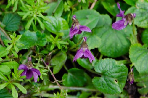 Violets flowering, Aldersley Junction