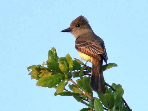 Great Crested Flycatcher 01-20190328