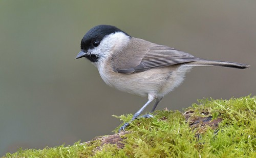 Willow Tit/Marsh Tit