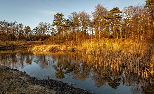Yellowed reeds and pine trees reflected