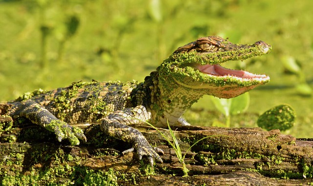 Smiling Green Gator   _DSC0253