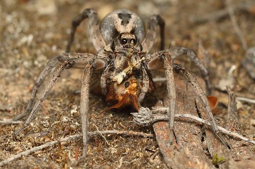 Wolf Spider - Tasmanicosa sp.