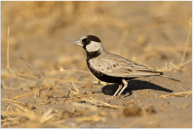 Black Crowned Sparrow Lark