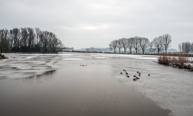 Partially frozen lake with resting mallards