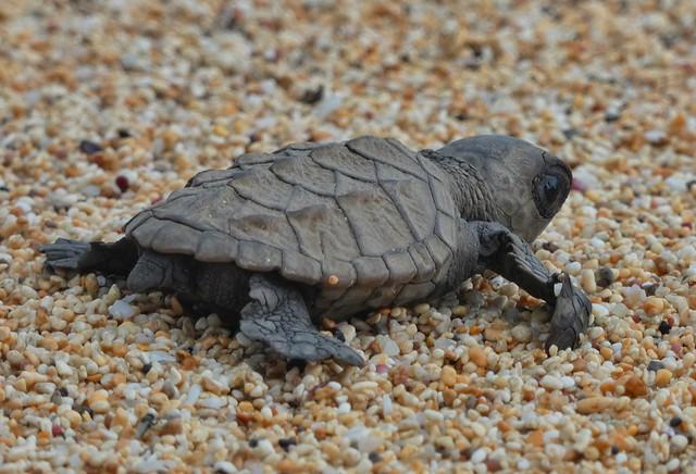 Cría de tortuga marina en una playa de Santo Tomé y Príncipe