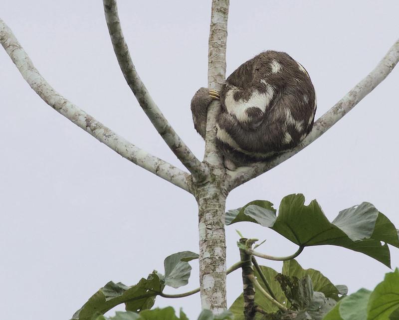 Brown-throated Three-toed Sloth, Bradypus variegatus Ascanio_Amazon Cruise 199A0254
