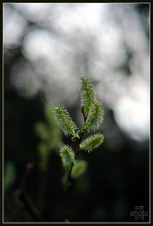 Pussy Willow_Pentax-M 50/1.7 | by Rosedalelad