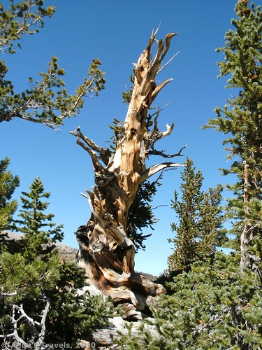 One of the older Bristlecone Pine Trees in Great Basin National Park, Nevada