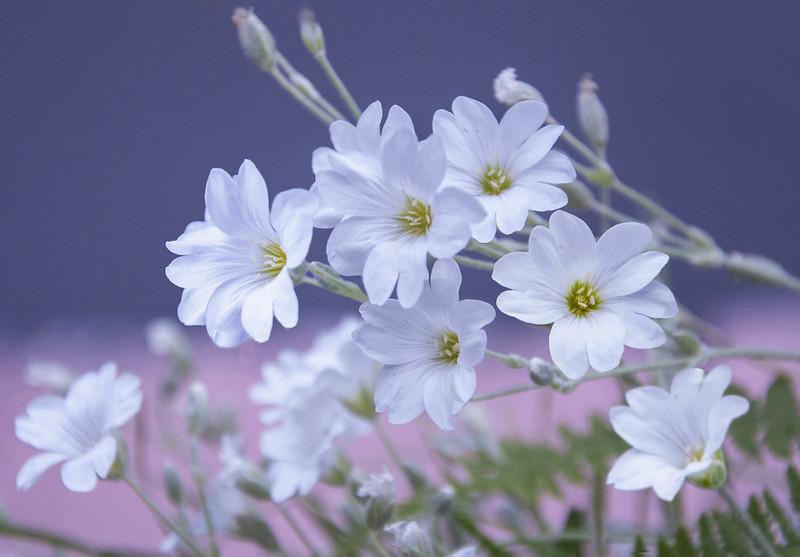 Обои макро, Ясколка войлочная, Ясколка картинки на рабочий стол, раздел цветы - скачать