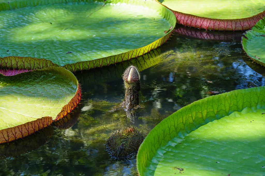Mauritius botan. Garten Victori amazonica