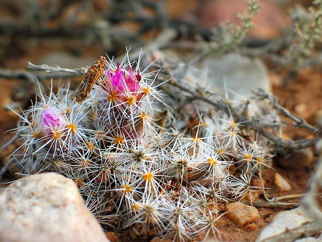 trichodiadema sp in flower - east of de rust, south africa 2