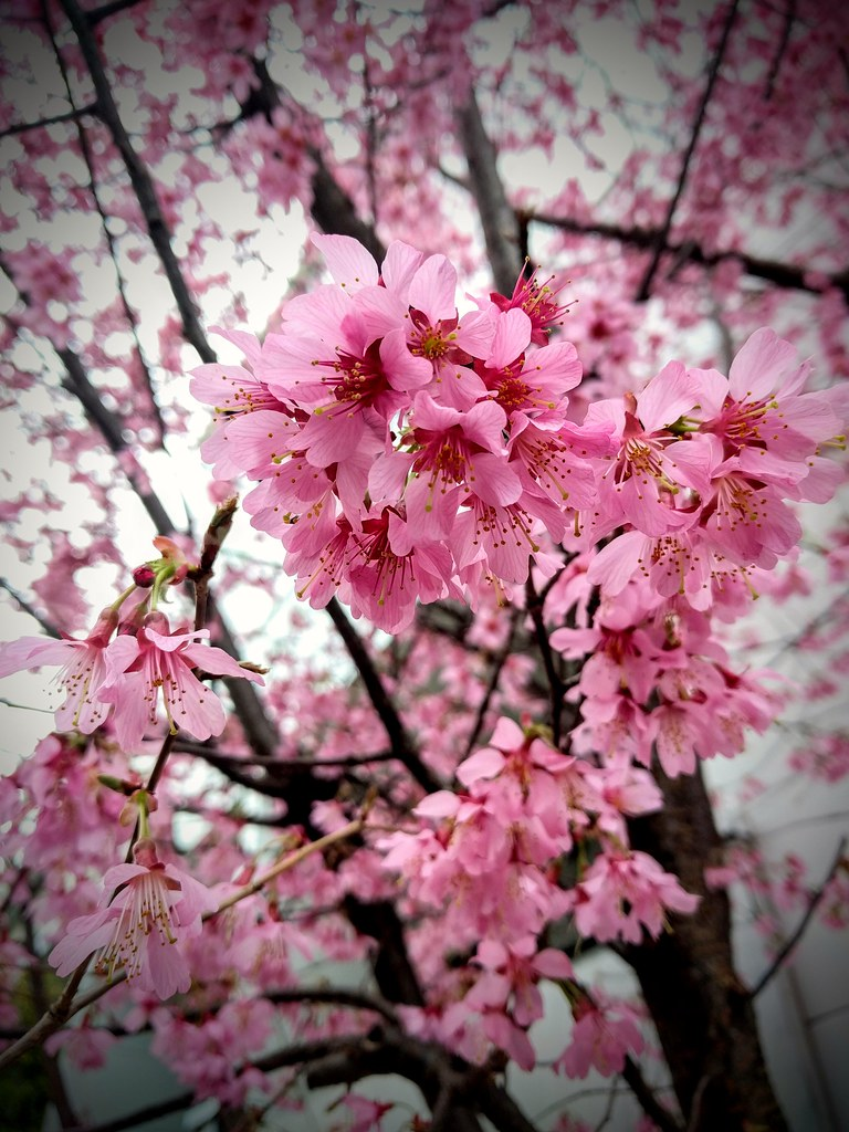Plum blossoms in bloom (or maybe early variety cherry blossom)