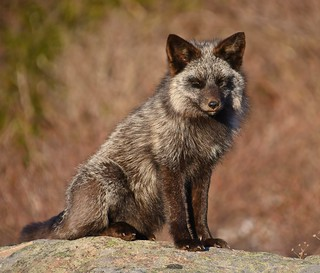 DSC_0224-silver-fox | by angelagranchelli