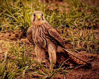 Grounded Kestrel.                   Explored 27 March 2019 | by pitkin9