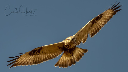 Rough-legged Hawk, Vernon, BC | by carlahuntphotography