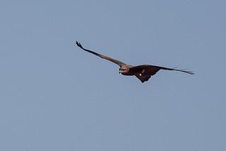 Black Kite | by steve happ