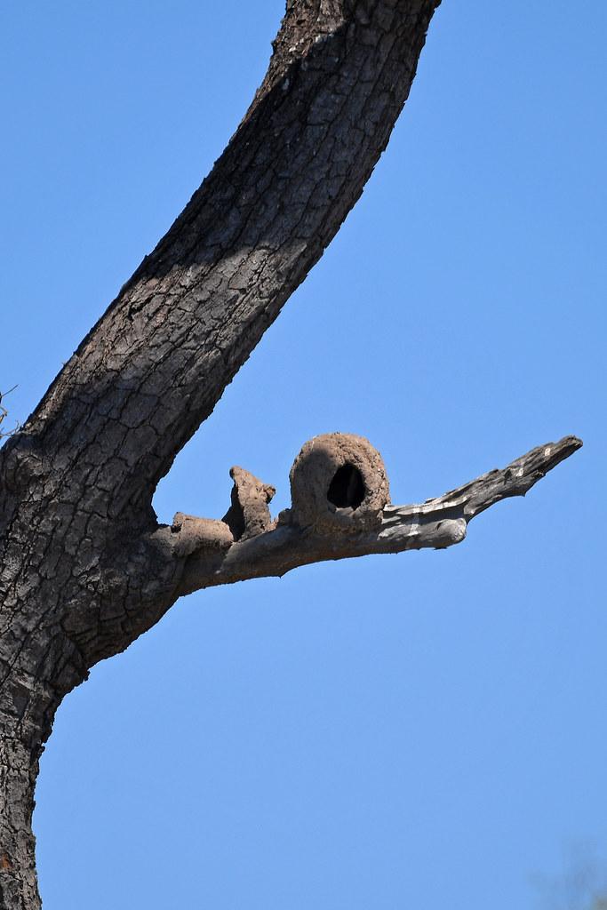 Rufous Hornero Nest (Transpantaneira)