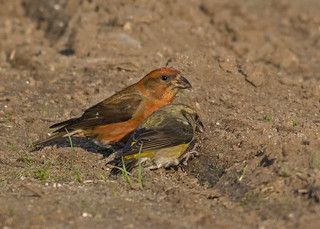 Red Crossbill pair | by nickinthegarden