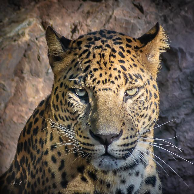 Leopardo - Panthera pardus