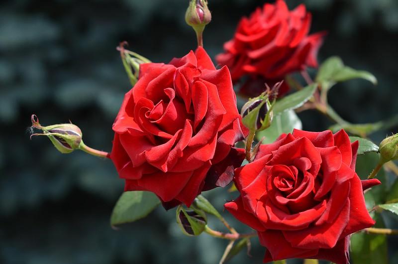 Обои лето, цветы, природа, розы, бутоны картинки на рабочий стол, раздел цветы - скачать