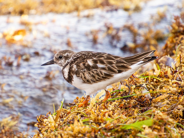 Ruddy Turnstone (non-breeding) ?