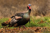 Wild Turkey (Meleagris gallopavo) Tom by Brown Acres Mark
