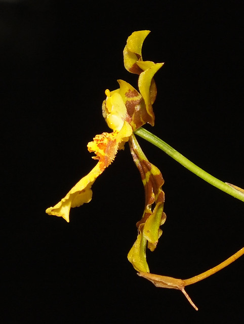Long column foot  orchid (Oncidium longipes) flower