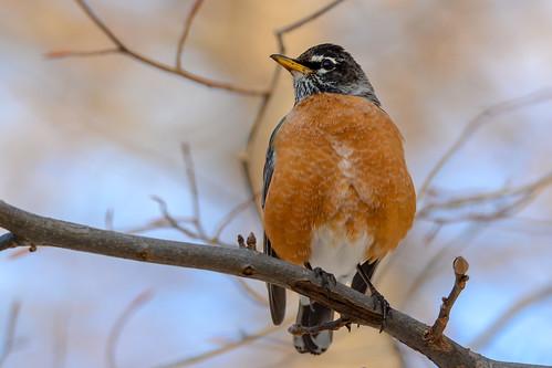 gorgeous birds nikon nikond7100 tamronsp150600mmf563divc jdawildlife johnny portrait closeup eyecontact americanrobin robinamerican wow