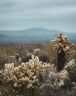 Teddy-bear Cholla | by bgwashburn