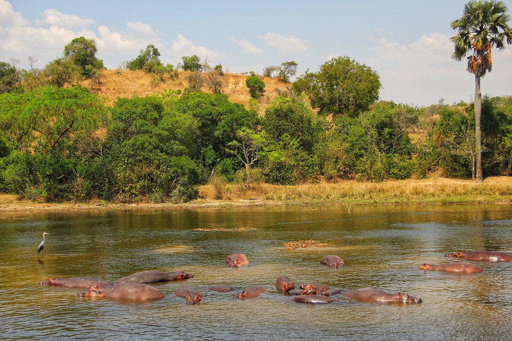 Hippos, Victoria Nile, Murchison Falls National Park
