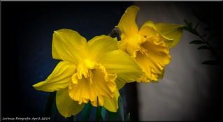 Frühlingsboten - spring blossoms | by Jorbasa