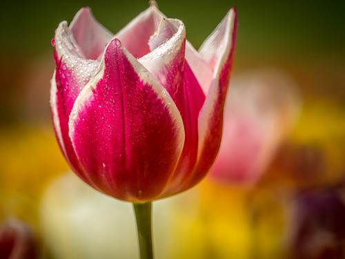 tulip time :) | by engin_photos