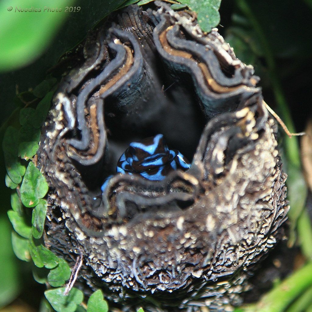 Goldbaumsteiger - Green and black poison dart frog