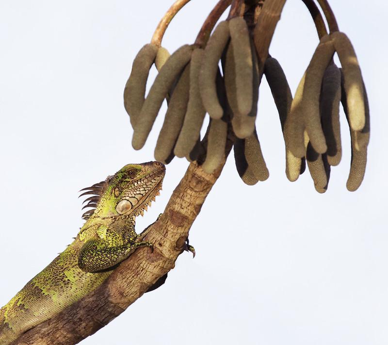 Green Iguana, Iguana iguana Ascanio_Amazon Cruise 199A8894