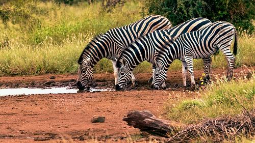 Zèbres au Kruger