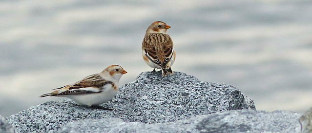 ♫ There's No Bunting Like Snow Bunting, Like No Bunting I Know ♫