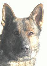 Retired SPD K9 Passes Away | by speedwaycommunitypolicing