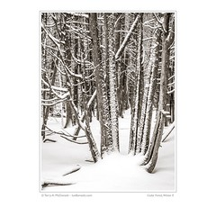 Cedar Forest, Winter II