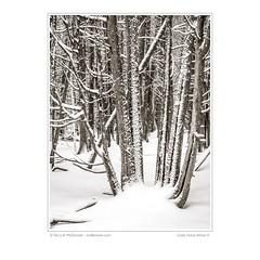 Cedar Forest, Winter II