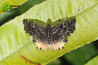 The Hairy Angle - ผีเสื้อท้ายขาวขนปุย | by Antonio Giudici Butterfly Trips