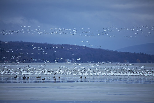 winter snow geese snowgeese life nature outdoors flight bird birds migration white skaneateles canon 2019 home flx spring march