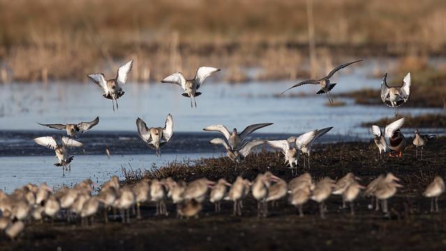 A dozen more black-tailed godwits (Greylake) #2