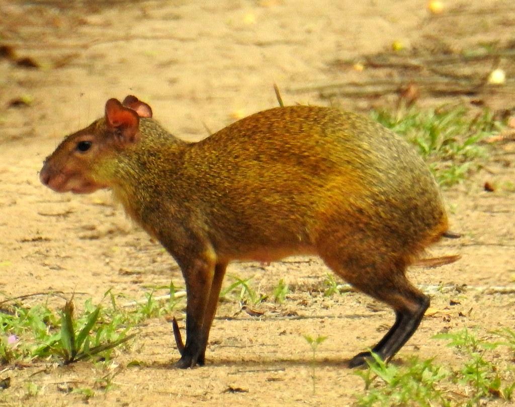 Goldaguti (Dasyprocta leporina) Belegfoto