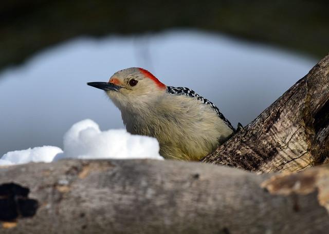 DSC_6805.Red-bellied Woodpecker