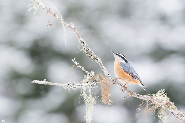 ''Mannequin boréal!'' Sitelle poitrine rousse-Red-Breasted nuthatch