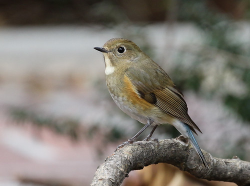 Red-flanked Bluetail | by mattgrube
